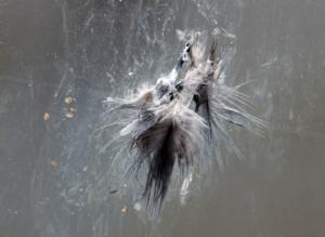Foto: Ralf Gütz/BUND NRW - Taube gegen Glasscheibe